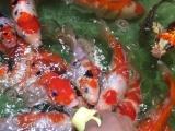 南京吃奶鱼 喂奶鱼 锦鲤鱼池