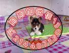 中国较大繁殖基地 出售健康纯种柯基犬 签协议