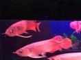 金龙鱼红龙鱼大型血鹦鹉 小型观赏鱼水族器材出售