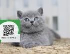 济南哪里卖蓝猫 济南哪里有宠物店 济南哪里卖宠物猫便宜