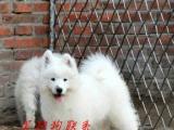 jacj281丨健康萨摩耶丨欢迎来选狗