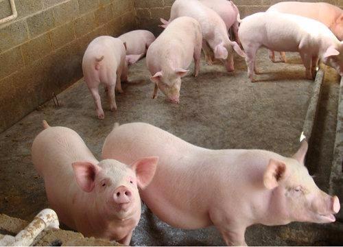 育肥猪料价格行情走势 用优农康饲喂料肉比低