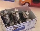 自己家的三只美国短毛猫出售