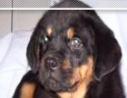 纯种健康 罗威纳幼犬 带狗用品