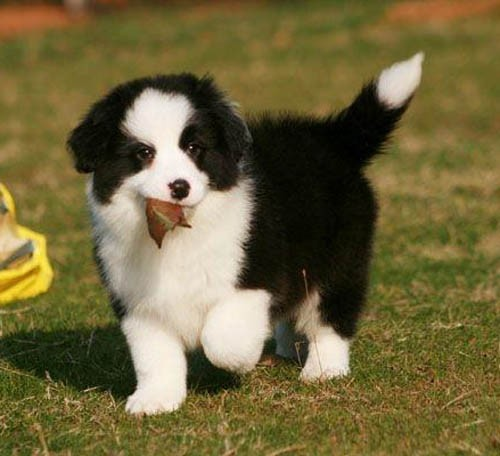 正规实体养狗场直销世界名犬 签协议保健康纯种 可上门参观挑选