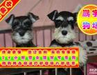自家狗场繁殖 品质健康有保障 纯种雪纳瑞犬签协议