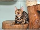 实物拍摄 纯种健康 孟加拉豹猫幼猫 可见父母 可送货