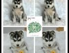 大连出售2 4个月幼犬(哈士奇)疫苗齐签协议