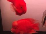 自己繁殖元宝鹦鹉鱼