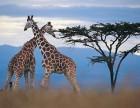 跟团游 肯尼亚魅力之旅7日游,重庆起止,四人起精致小团