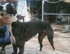 急售格力犬黑白全活可以试活