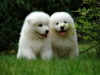 深圳哪里有卖萨摩耶幼犬 福田哪里有卖萨摩耶幼犬