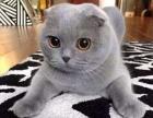 折耳幼猫猫舍繁殖 健康纯种品质保障