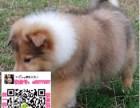 上海松狮图片价格 松狮幼犬宠物狗养殖基地 松狮领养赠送