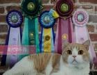 星光猫乐园家庭繁育猫舍CFA总冠军直接后代英短三花乳白