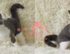 广州哪里的蓝猫比较便宜健康 广州什么地方可以买到蓝猫