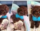 小小哒 萌萌哒 卷毛小体玩具泰迪 十分超健康超萌