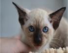 自家纯种暹罗小猫!价格面议!托勿扰!