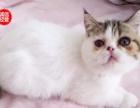 猫舍直销 多只加菲猫特价 颜色多 疫苗防疫已
