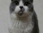 蓝白折耳短毛猫1500元徐州