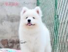 专业繁殖高品质萨摩耶幼犬——纯种健康——协议质保