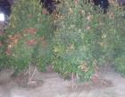 中山苗木种植,批发价格优惠