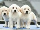 纯种拉布拉多幼犬宝宝出售 品质可靠 疫苗齐全