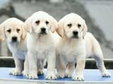 正规犬舍出售拉布拉多幼犬包健康签协议送用品