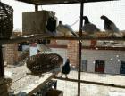 出售观赏鸽,鸽笼子