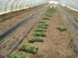 西瓜苗 西瓜嫁接苗 麒麟8424西瓜种子