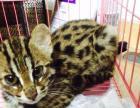 大花纹豹猫出售(母)