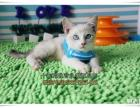 秦皇岛买猫 宠物小猫咪 纯种蓝眼重点色山猫色暹罗猫 包健康