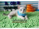 襄樊买猫 宠物小猫咪 纯种蓝眼重点色山猫色暹罗猫 幼猫包健康