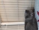 宜昌英国短毛猫小猫出售