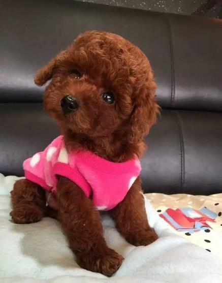 广州宠物狗 番禺宠物狗 灵山宠物狗 韩国血统精品茶杯贵宾泰迪犬,可签
