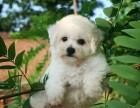 银川纯种比熊犬价格,银川哪里能买到纯种比熊犬