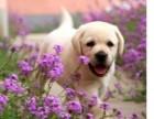 上海大头高品质拉布拉多幼犬出售健康纯正 好血统多只挑选