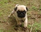 大型犬舍繁殖高品质八哥犬健康有保证欢迎上门