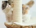 贵阳哪里有波斯猫卖 纯种 无病无廯 协议质保