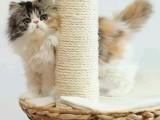 珠海哪里有波斯猫卖 纯种 无病无廯 协议质保