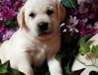 犬舍繁殖拉布拉多宝宝出售,急,价不高要的快来!