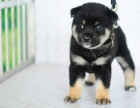 柴犬幼犬 纯种日系柴犬 黑赤色大骨骼 白嘴巴柴犬