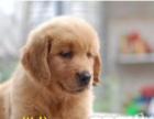 自家养的大头金毛幼犬 叁白—只品相好看公母都有