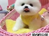 哈多利球体博美俊介犬,带健康证书 签协议包纯种健康