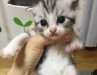 自家繁殖美短立耳起司猫800-2000加白标斑