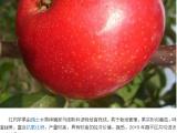山东红肉苹果树苗种植基地报价