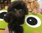 梦幻犬舍供 宠物狗泰迪价格 宠物狗泰迪报价 宠物狗泰迪品种