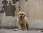 犬舍专业繁殖双血统金毛犬 大骨架 可签售协议