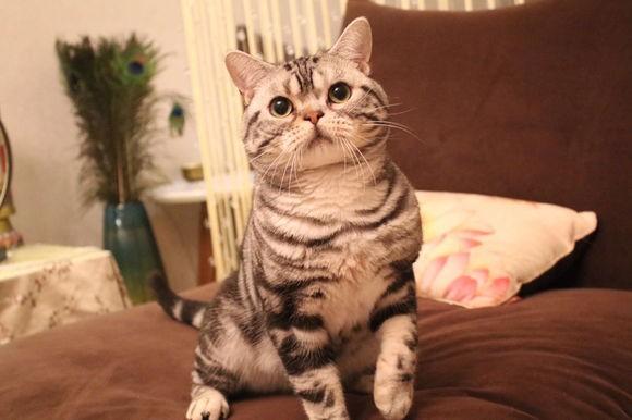 珠海哪里有美短猫虎斑加白卖 纯血统 萌翻你的眼球 品质保障