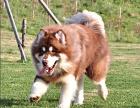 崽崽犬舍出售精品阿拉斯加 证件全 本地可自提
